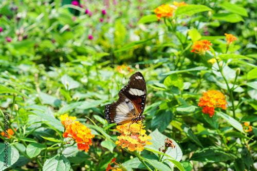 Fotobehang Vlinder Butterfly in spring garden in Vietnam