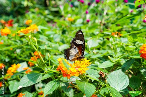 Aluminium Vlinder Butterfly in spring garden in Vietnam