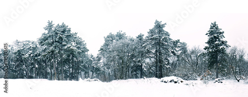 Pine forest in winter panorama landscape