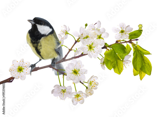 Aluminium Kersen great tit on cherry tree blossoming branch isolated on white