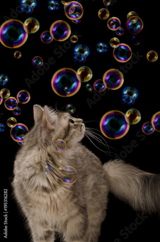 Cat with soap bubbles on black background isolated