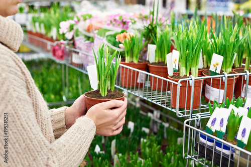 Woman buys narcissus flowers in pot at store