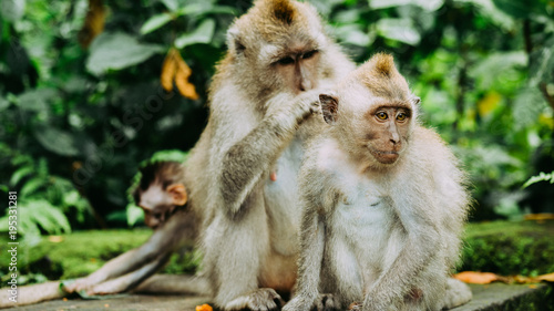 Fotobehang Bali Long-tailed macaque with young ones on forage. Macaca fascicularis, in Sacred Monkey Forest, Ubud, Indonesia
