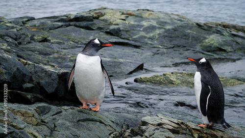 Fotobehang Pinguin Gentoo Penguins in Antarctica.