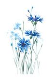 A gentle flowering cornflower. Blue cornflower. Watercolor background