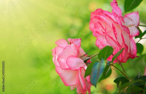 Fototapeta Pink roses background .