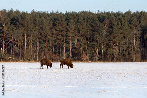 Fotobehang Bison Two majestic wild bisons
