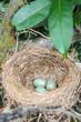 Leinwanddruck Bild - Drei Eier in einem Amselnest