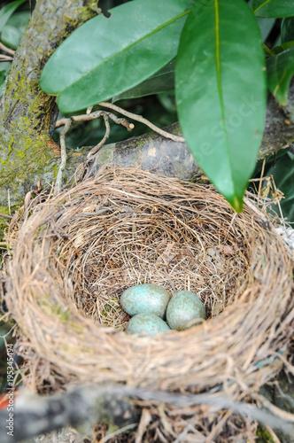 Leinwanddruck Bild Drei Eier in einem Amselnest