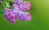 Lilac flowers isolated on green. - 195347235