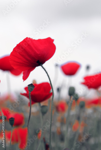 Fotobehang Klaprozen Poppies on gray sky background.