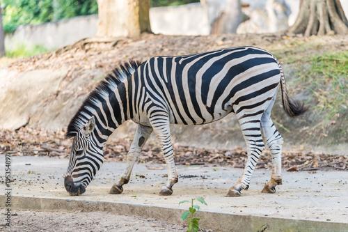 Foto op Canvas Natuur A zebra under captivity in a private zoo