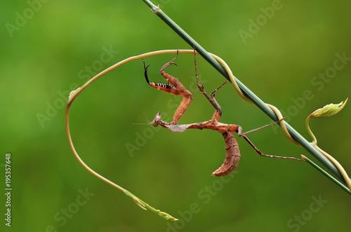 Foto op Canvas Natuur praying mantis