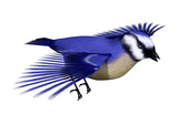 3D Rendering Florida scrub jay on White
