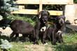 Amazing puppies of irish wolfhound