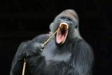 Gorilla - 195371256
