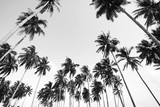 Coconut tree view in black and white with vintage effect. - 195373448