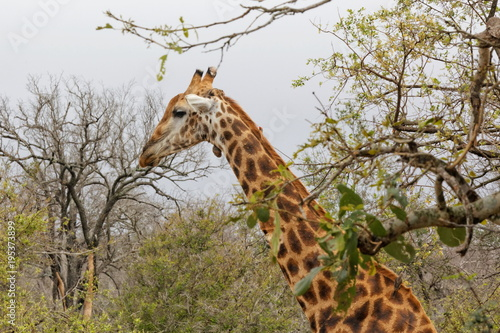 Fototapeta girafe