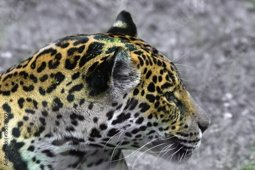 Fotobehang Panter Jaguar