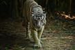 The White Bengal Tiger