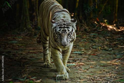 Aluminium Tijger The White Bengal Tiger