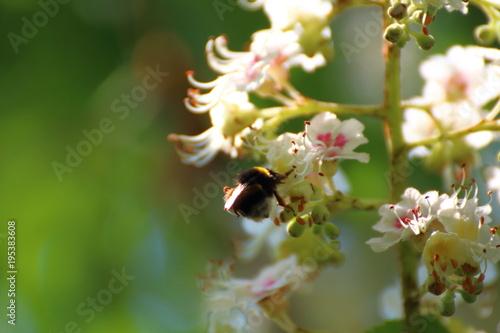 Fotobehang Bee bumblebee pollinates plum blossoms