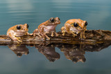 Three Amazon milk frogs on a log