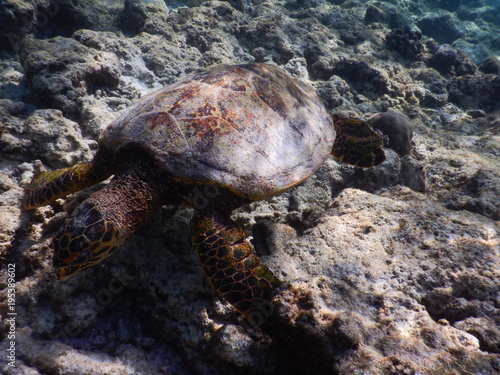 Aluminium Schildpad Echte Karettschildkröte Malediven