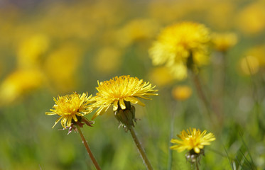 Yellow Dandelion flower on a meadow (latin name: Taraxacum)