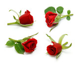 Red rose collection with leaves isolated on white background - 195394859