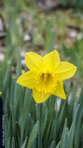 Daffodil California closeup 1.