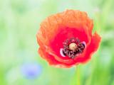 Detailaufnahme einer Mohnblume blühend
