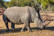White rhino in safari park