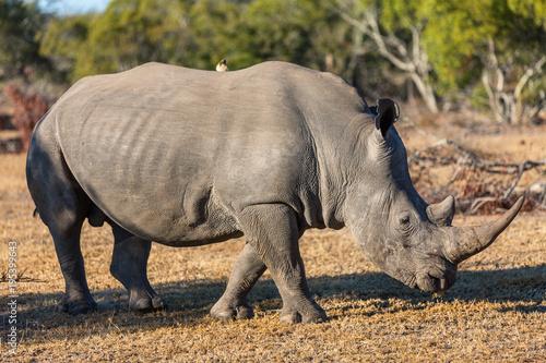 Foto op Canvas Natuur White rhino in safari park