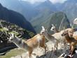 LLamas Over Machu Picchu
