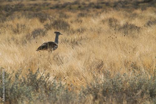Foto op Canvas Natuur large bird species known for Kori Bustard walking in namibia etosha pan.