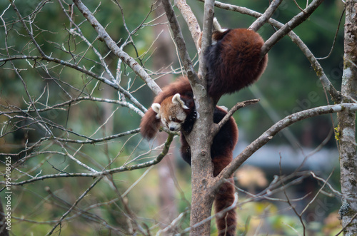 Fotobehang Panda Red pandas in the zoological reserve in the Himalayas, have settled down on tree branches for a dream.