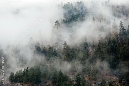 Foggy Evergreen Trees - 195433280