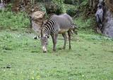 Zebras in park