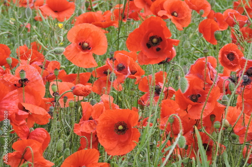 Poster Rood Poppy flowers