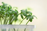 Green young shoots of watercress lettuce. Blurred background. - 195459438
