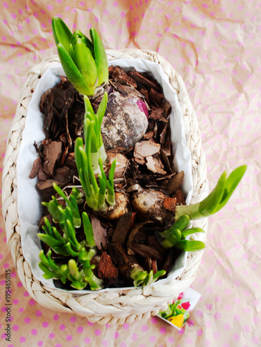 Hyacinth and daffodils in a wicker basket. View from above.