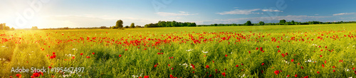 Beautiful poppy flowers on the field at sunset - 195467497