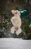 White little poodle playing outside in the snow.