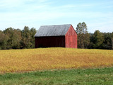Red barn nestled in a golden field of soy beans. - 195470498