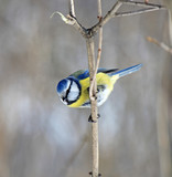 the blue tit has a rest on a tree branch - 195472227