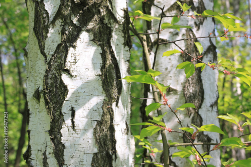 Fototapeta Beautiful young birch trees with green leaves in summer in sunny weather