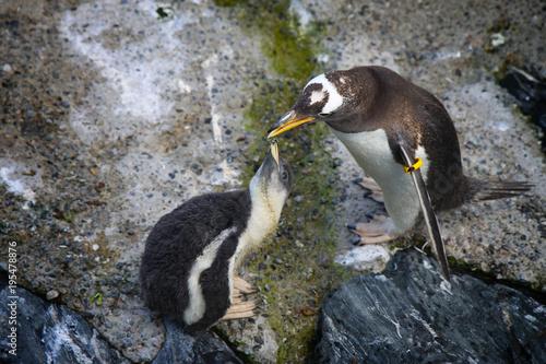 Fotobehang Pinguin Penguin feeds the little one