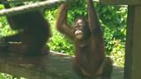 Baby Orangutan on Playground - 195479401