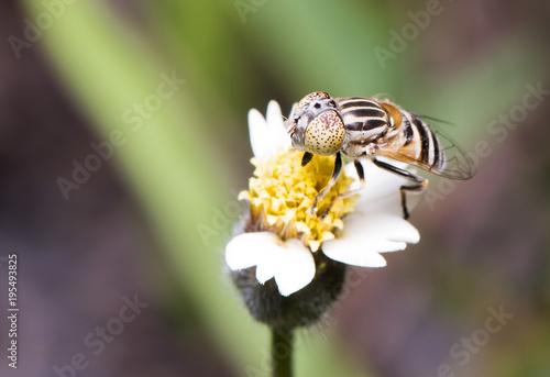 Fotobehang Bee fly